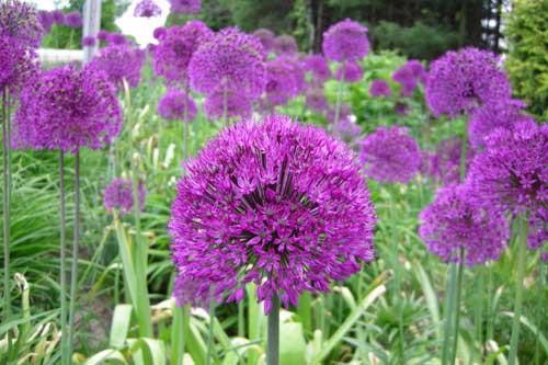 perennial allium purple sensation. Black Bedroom Furniture Sets. Home Design Ideas