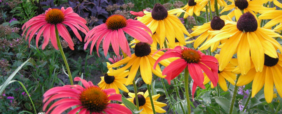Echinacea and Rudbeckia Plant Combination